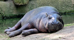 hipopotamo-para-calvicie